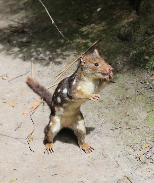 Friendly white spotted quoll