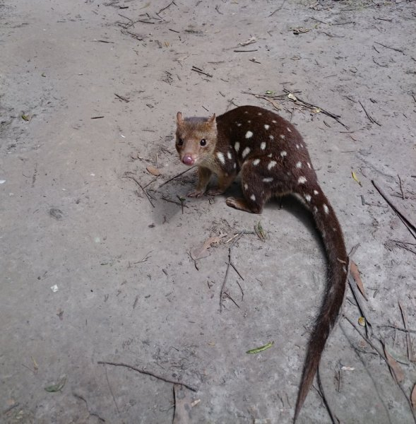White spotted quoll